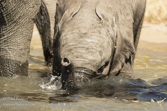 Baby Elephant Drinking Throgh Mouth-7389
