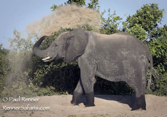 Elephant Throwing Dust-2593