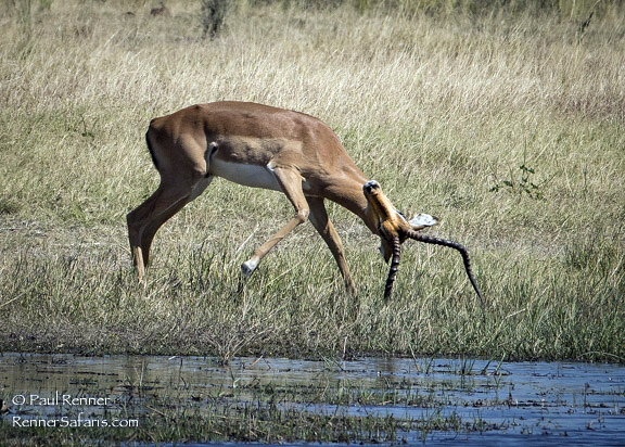 Impala Cleaning His Horns-8634