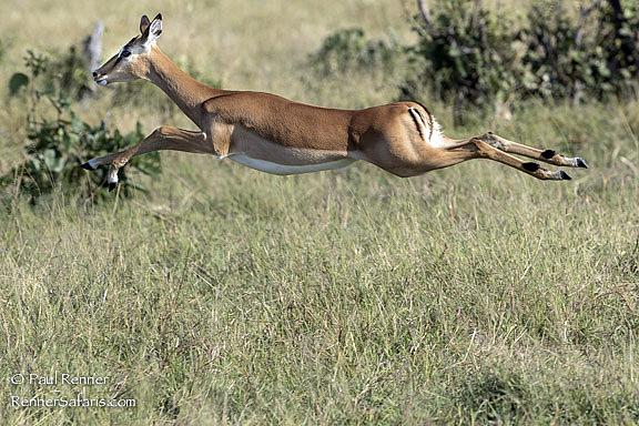 Impala Leaping-3590
