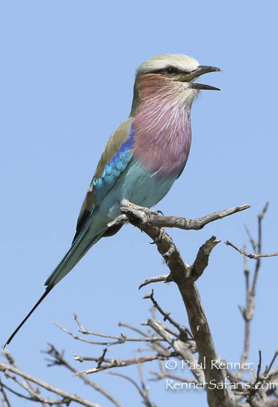Lilac Breasted Roller-3356