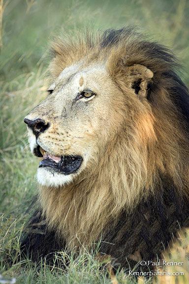 Lion -3714