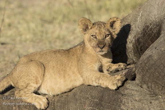 Lion Cub-8217