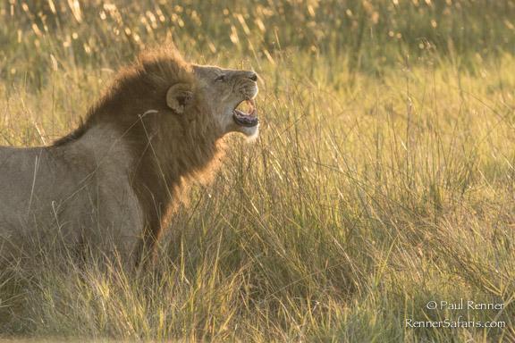 Lion Flehming-3785