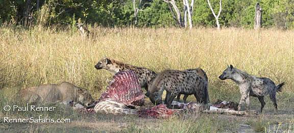 Lion and Hyenas Sharing a Giraffe Carcass-6699
