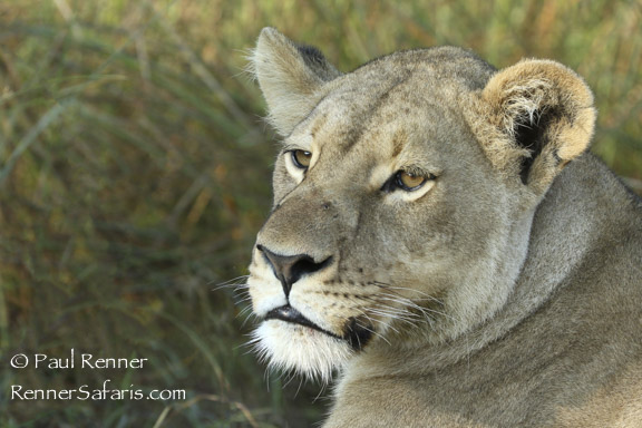 Lioness-3158