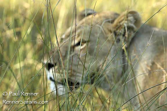 Lioness Behind Grass-3202