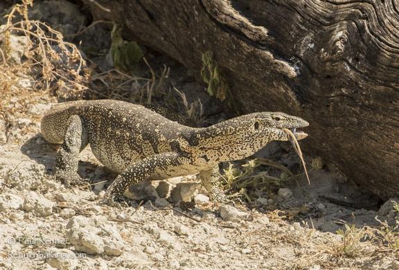 Monitor Lizard Swallowing Snake-7494