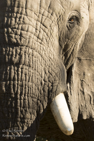 Old Bull Elephant-5288