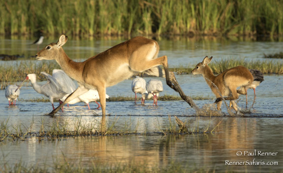 Red Lechwe and Fawn, Okavango Delta-4406
