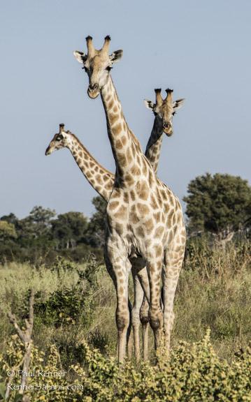 Three Giraffe, Botswana-3405