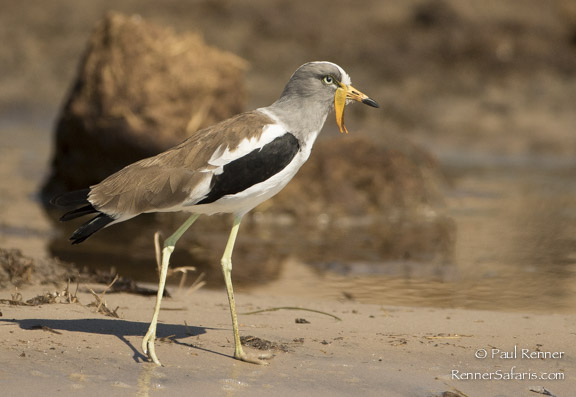 Wattled Plover-7212