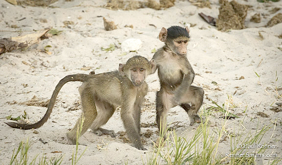 Young Chacma Baboons-6711