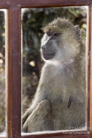 Baboon at My Window-2839
