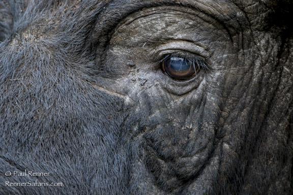 Cape Buffalo 1-