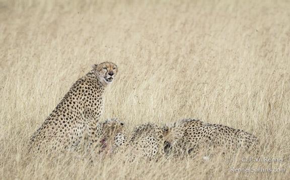 Cheetah Mother's Watchful Eye-0370