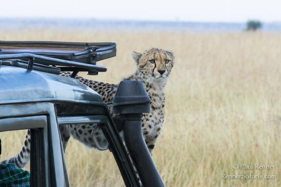 Cheetah On Hood of Vehicle-3470