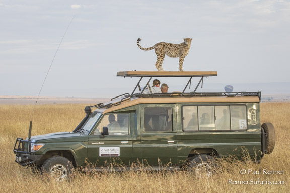 Cheetah on Roof of Vehicle-3509