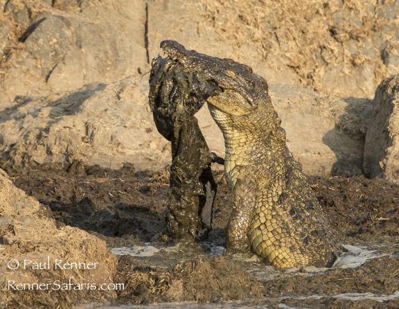 Crocodile Eating Crocodile-2675