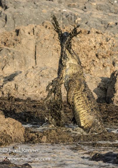 Crocodile Eating Crocodile-2702