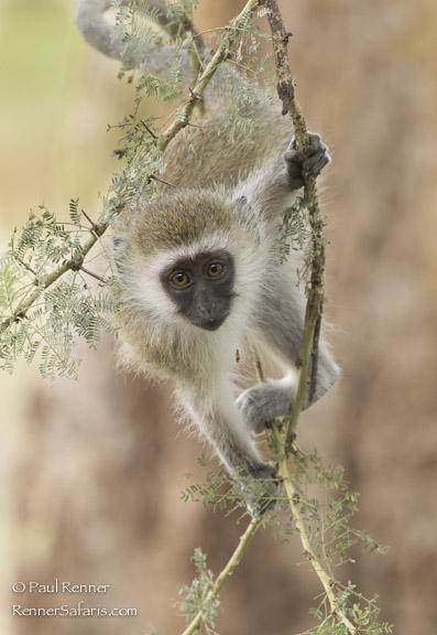 Curious Young Vervet Monkey-9371