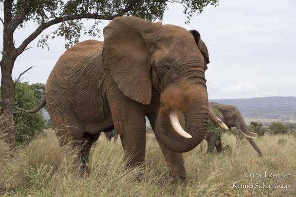 Elephant Blowing Dust-0140