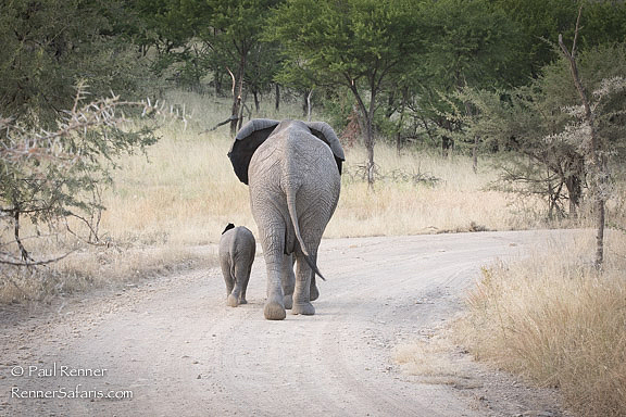 Elephant and Baby in Road-8707