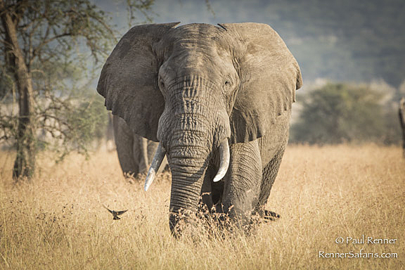 Elephant and Bee Eater-2471