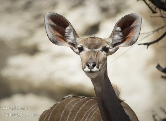 Female Greater Kudu-