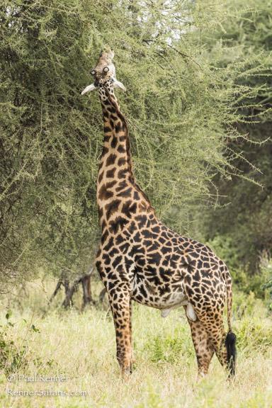 Giraffe Feeding on Acacia Tree-