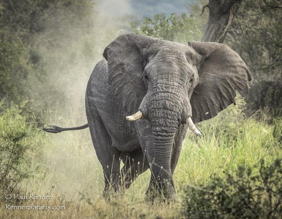 Great Bull Elephant-2418