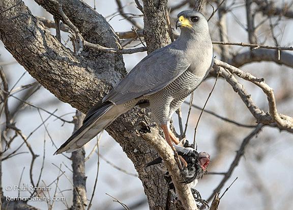 Grey Chanting Gosh Hawk with Magpie Shrike-7926
