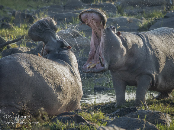 Hippos Fighting-7568