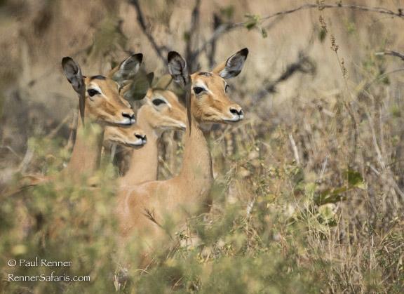 Impalas Looking -8218
