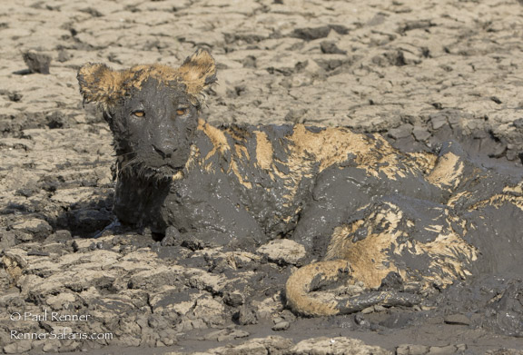 Lion Cubs in the Mud-2178