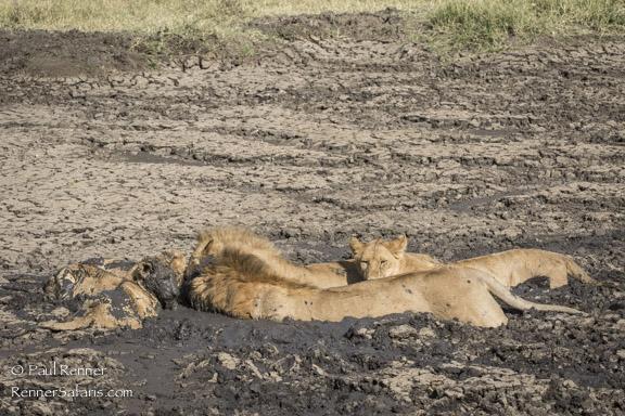 Lion Pride in Mud-8752