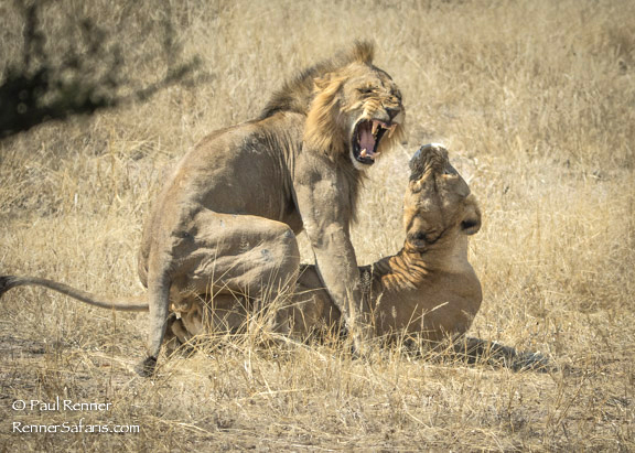 Lions Mating-8094