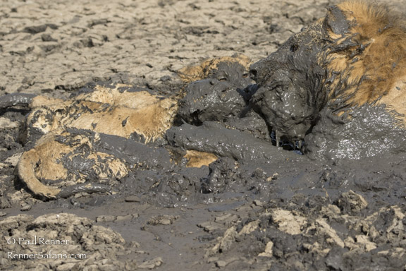 Lions in the Mud-2107