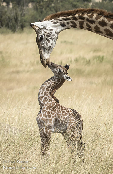 Mother Kissing Baby Masai Giraffe-