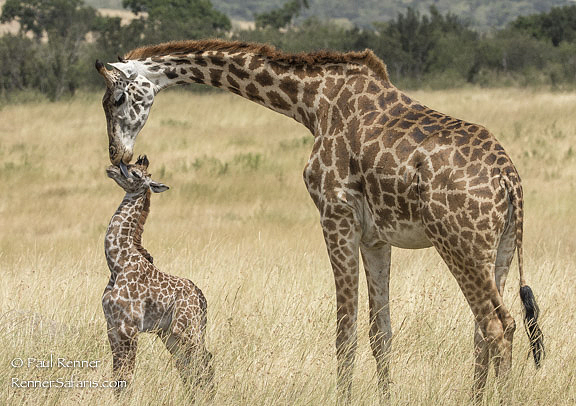 Mother Licking Baby Masai Giraffe-