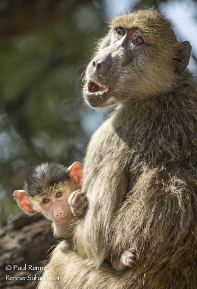 Mother and Baby Baboon7403