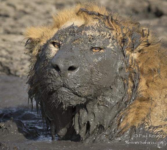 Muddy Faced Lion--2