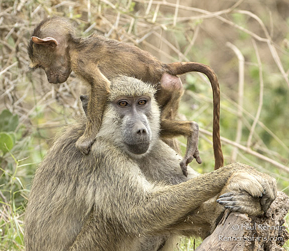 Patient Mother Baboon-9742