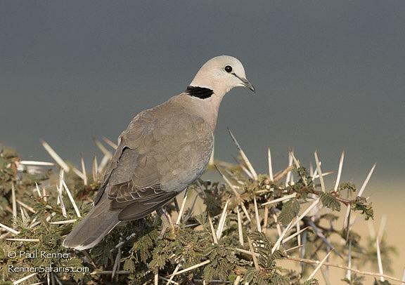 Ring Necked Dove-1352