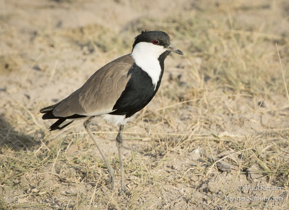 Spur-Winged Plover-9449