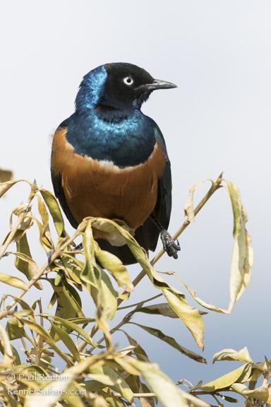 Superb Starling 2-1056