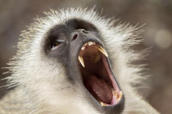 Vervet Monkey Yawning -9354