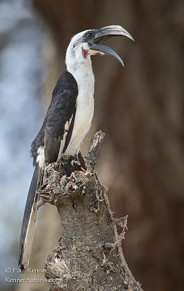 Von Der Decken's Hornbill-