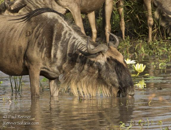 Wildebeest Drinking-0014