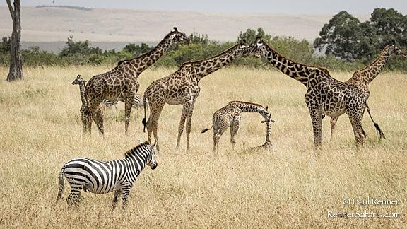Zebra Watching Giraffe-0324
